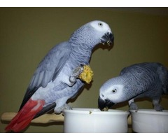 A fantastic take African gray parrots