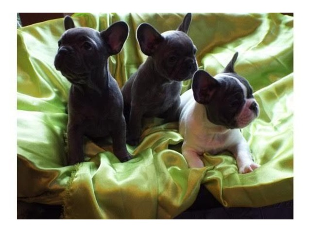 beautiful litter of french bulldogs for adoption | free-classifieds-usa.com