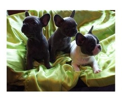 beautiful litter of french bulldogs for adoption