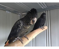 Two Black Cockatoo For Sale