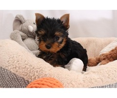 .Tiny male and female Teacup Yorkie's Puppies for adoption