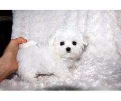 AKC registered, Teacup Maltese Puppies Now Available For Good Homes