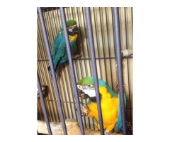 Adorable blue and gold macaw parrots