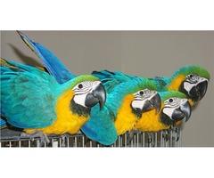 Talkative Macaw Parrots