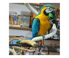 Tamed macaw parrots