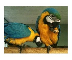 2 Talkative blue and gold macaw parrots ready to go