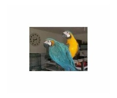Adopt love macaw parrots