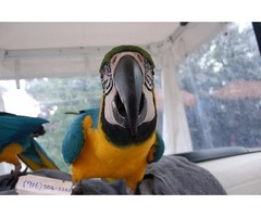 Macaw parrots talking and ready to go