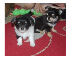 Beautiful Chihuahua Pups, Ready To Leave
