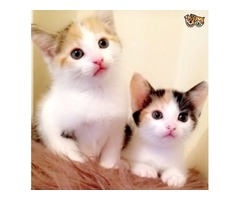 Three super cute and Adorable and  Savannah kittens available to pet lovers.