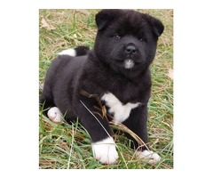 Super Adorable akita   Puppies