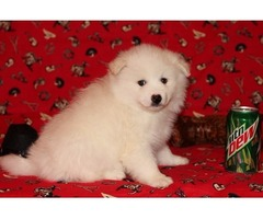 Nice and Healthy American-Eskimo Puppies Available