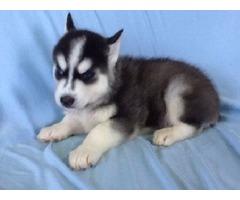 Sweet Siberian Husky Puppies -