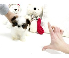 Male and Female Teacup Shih Tzu puppies