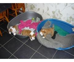 3 beautiful English Bulldogs