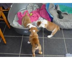 3 beautiful English Bulldogs for adoption