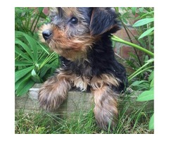 Tea cup Yorkshire Terrier Puppies available