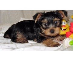 Yorkshire Terrier Puppies for adoption | free-classifieds-usa.com