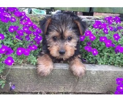 Super Adorable akc  Yorkshire Terrier puppies