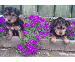 Good Looking Yorkshire Terrier Puppies.