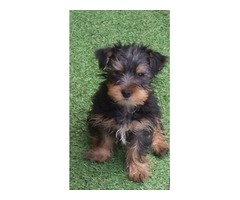 I have a litter of male and female   Yorkshire Terrier  pups