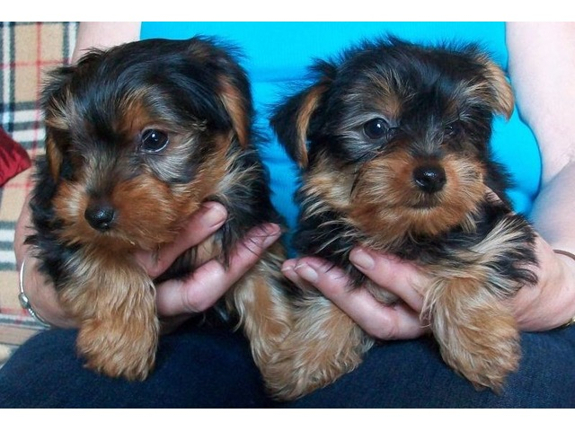 Beautiful Teacup Yorkshire Terrier Puppies Available Animals Bay