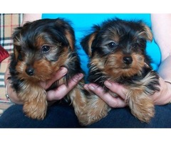 Beautiful Teacup Yorkshire Terrier puppies Available