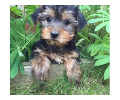 Top quality  Yorkshire Terrier puppies for a new home