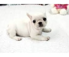 Akc registered French  Bulldog   puppies for sale
