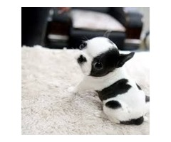Top Class French Bulldog Puppies Available