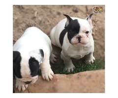 Cream And Fawn French Bulldog Puppies