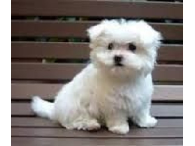 Teacup Maltese puppies for Adoption - Animals - Colorado
