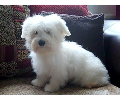 Cute Teacup Pomeranian Puppies for adoption- - Animals - Melbourne