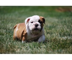 12 Weeks old English Bulldog Puppies