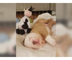 Mini English bulldog MALE pup