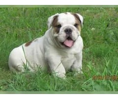 Lovely male and female English bulldog puppies ready for re-homing