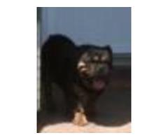 3  ENGLISH BULLDOG puppies available