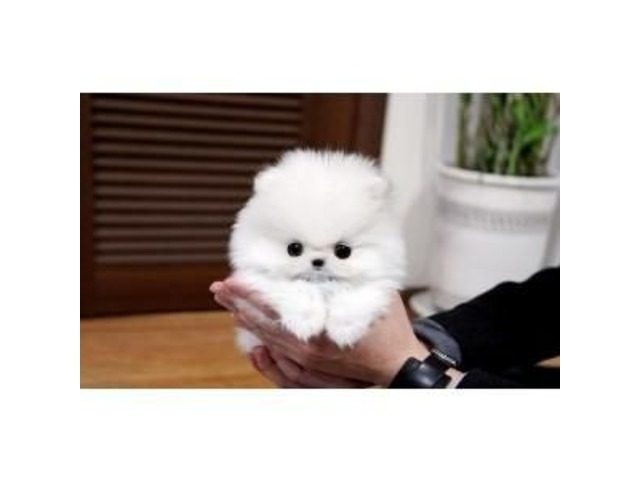 Affectionate Teacup Pomeranian puppies available - Animals