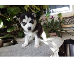 Akc Siberian husky puppies available