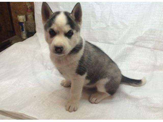 Charming Siberian husky puppies available | free-classifieds-usa.com