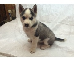 Charming Siberian husky puppies available