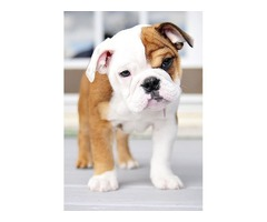Gorgeous Bulldog Puppies For Adoption-