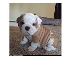 Adorable English Bulldog Puppies For Re Homing-