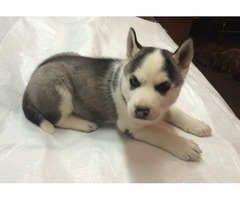 Affectionate Siberian husky puppies available for your home