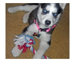 Affectionate Blue eyed Siberian husky puppies available for your home$$