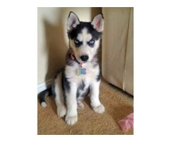 Blue eyed Siberian husky puppies available for your home$$