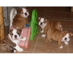 pretty English Bulldogs For Adoption
