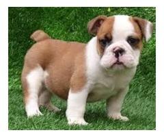Beautiful and lovely AKC Reg Bulldog Puppies
