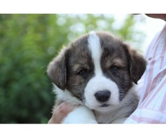 Two Beautiful Welsh Corgi Pups for sale