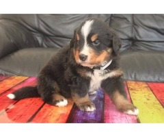 Bernese Mountain Puppies For Sale